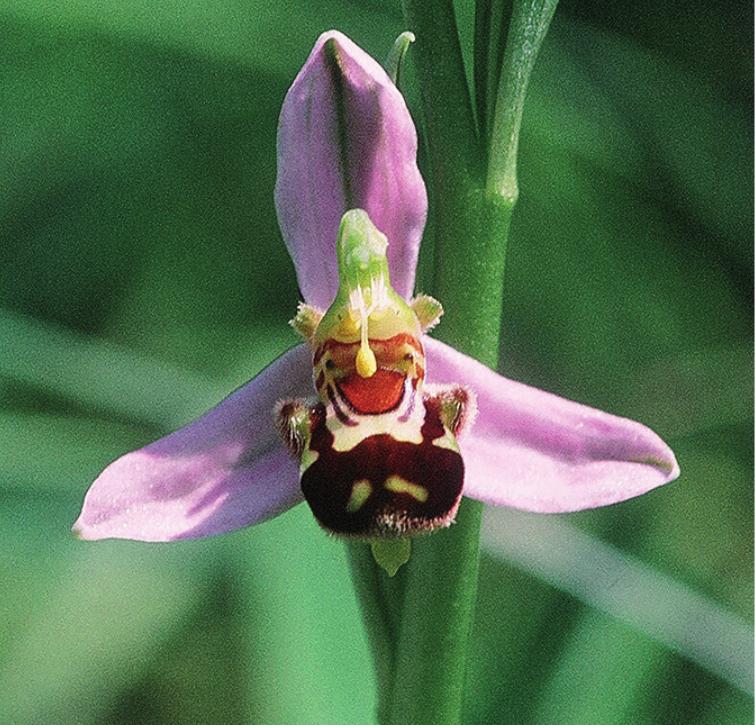 Bienen-Ragwurz (Ophrys apifera) Diese Art wächst gerne auf Magerwiesen und Halb- trockenrasen, wie sie z. T. am Jurasüdfuss noch vorhanden sind.